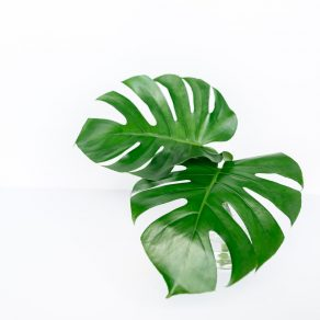 The Fresh Flower Project The-Fresh-Flower-Project_Monstera-Leaf-292x292 Monstera Subscription | Monthly